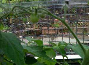 tomato-growing