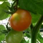 tomato-ripening