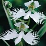 Orchid - Habenaria radiata