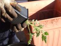 Potting up tomatoes