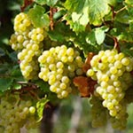 Sauvignon Blanc grape plant