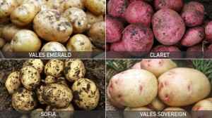 seed potatoes 2nd crop