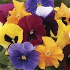 Pansy Grande Fragrance plug plants