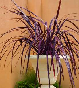 Festival grass plant