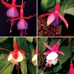 Fuchsia Plants from only £10.99!