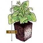jumbo plug plant