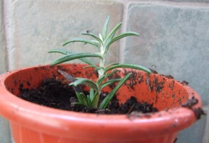 Rosemary potted up