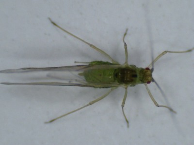 green bodied insect