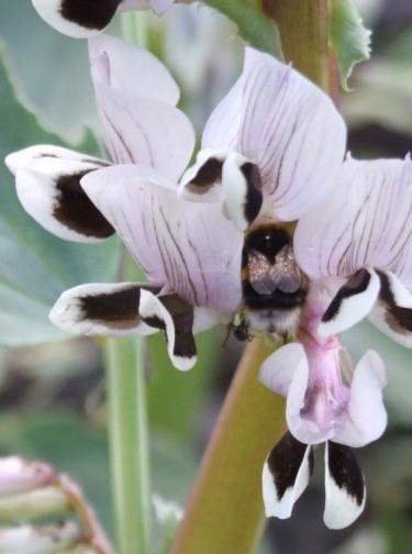Bee on broad bean flower