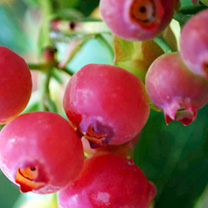 Pink lemonade plant - the pink blueberry