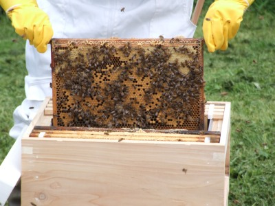 bees going in their new home