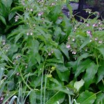 Comfrey from root