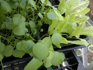 Winter lettuce and claytonia
