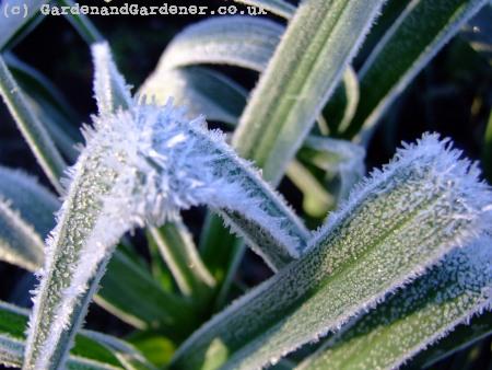 Frozen leeks