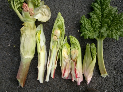 rhubarb-flowers-dissected