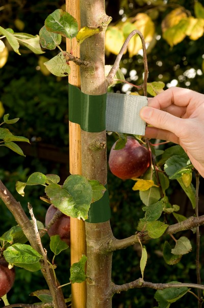 Using duck tape to tie tree to stake
