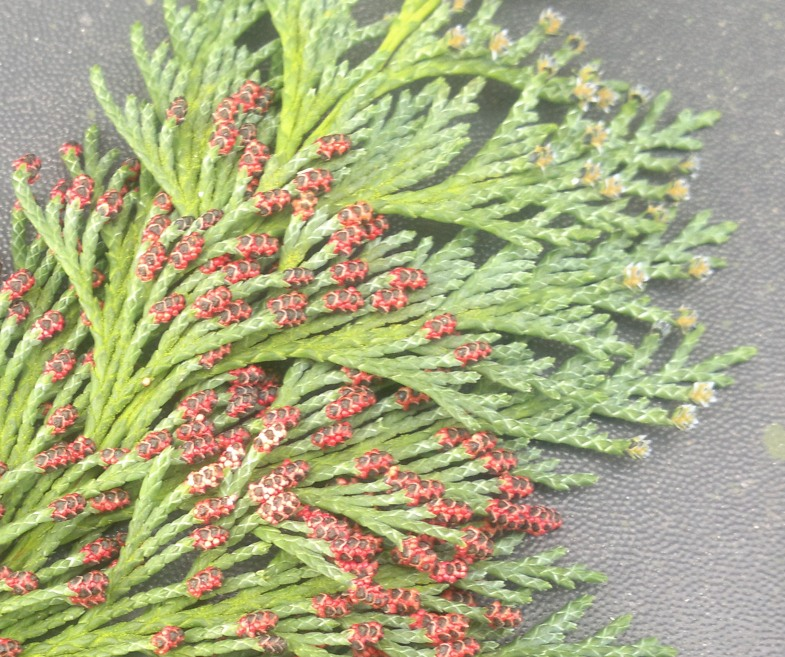 conifer flowers