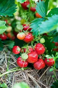 grown your own strawberries