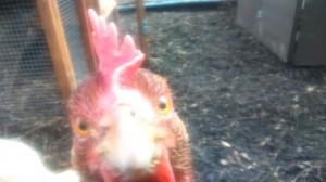 Chicken saying hello