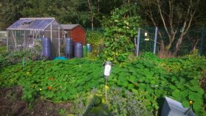 Allotment covered in nasturtiums