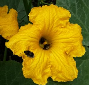 Bees queuing up to get on pumpkin flowers on allotment